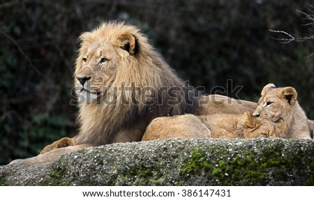 Lion and lion cubs. Latin name - Panthera leo - stock photo