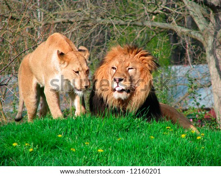 Lion and Lioness - stock photo