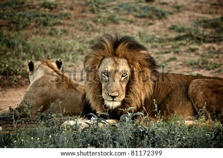 Lion and lioness at kruger national Park, South Africa - stock photo