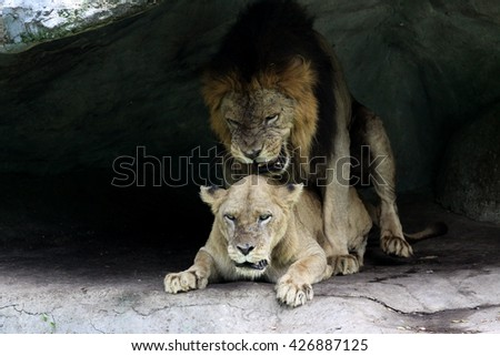 Lion and lioness cubs do. In the shadow of the cave is conceived cubs