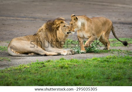 Lion and lioness love game - stock photo