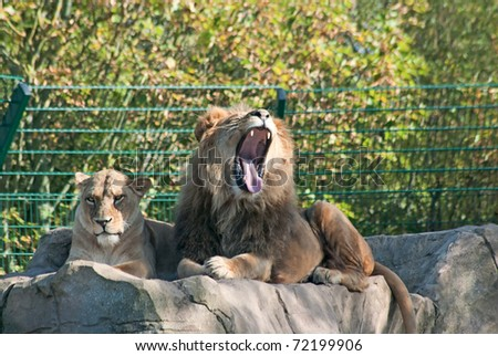Lion and lioness (P. Leo) rest on the rock - stock photo