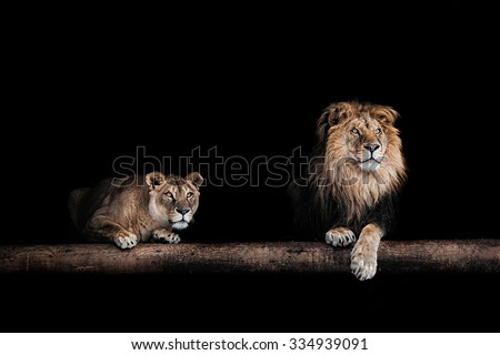 Lion and lioness, Portrait of a Beautiful lions, lions in the dark - stock photo