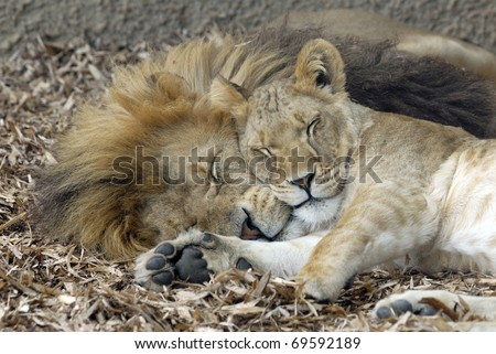 Lion and Lioness sleeping - stock photo