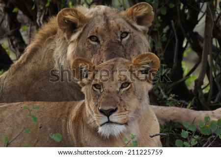 Lion and lioness together spotted in Masai Mara National Reserve, Kenya.
