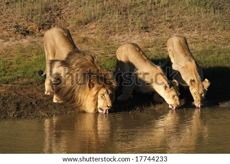 Lion and lionesses with tongues out drinking at the waterhole at sunset.