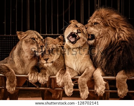 Lion and three lioness - stock photo
