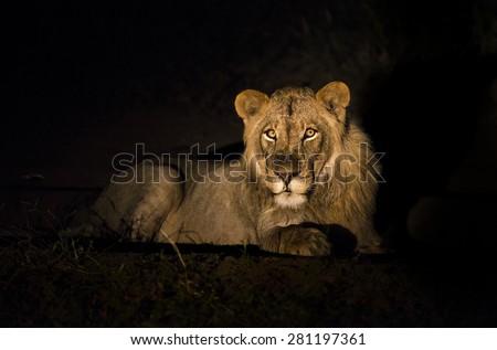 Lion at night - stock photo