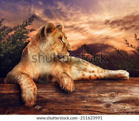 Lion at sunset  - stock photo