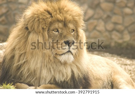 Lion at the zoo - stock photo