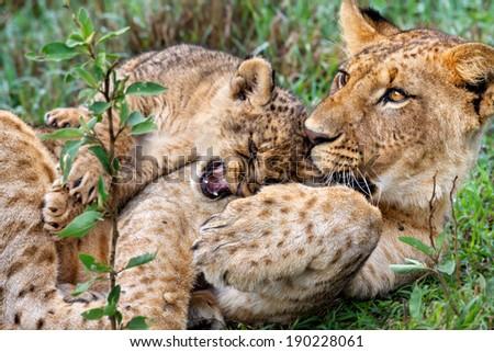 Lion baby playing with his older brother in Lake Nakuru National Park, Kenya - stock photo