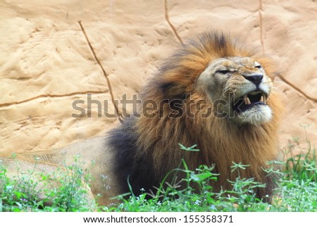 Lion baring teeth - stock photo