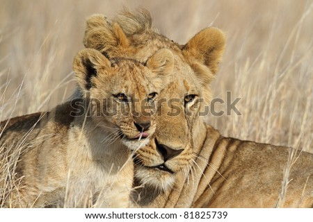 Lion big-brother babysitting cub, Serengeti National Park, Tanzania, East Africa