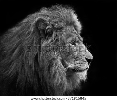 Lion, Black and white head shot of an adult Lion .  - stock photo