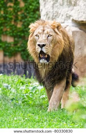 lion come - stock photo