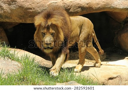 Lion coming out from its hiding - stock photo
