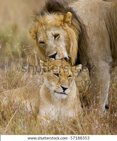 Lion Couple - stock photo