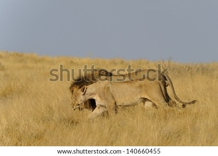 Lion couple in high grass in Etosha natinal park - stock photo