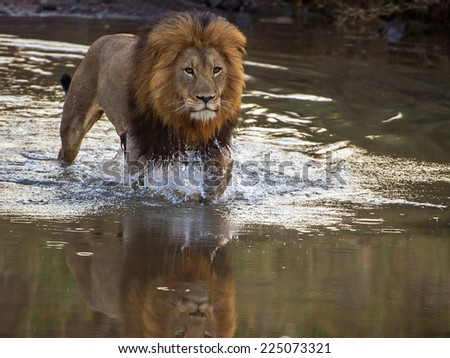 Lion crossing river - stock photo