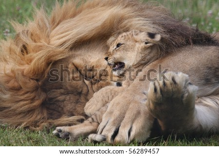Lion Cub and Dad
