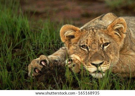 Lion Cub claws - stock photo