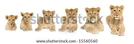 lion cub growing from 3 to 9 months in front of a white background - stock photo