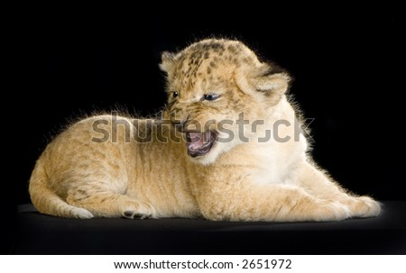 Lion Cub in front of a black background. All my pictures are taken in a photo studio. - stock photo