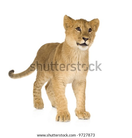 Lion cub in front of a white background