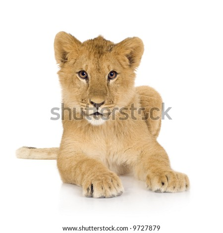 Lion cub in front of a white background - stock photo