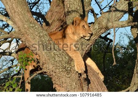 Lion Cub in Tree - stock photo