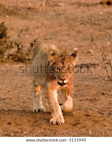 Lion cub in Tuli Block Reserve in Botswana - stock photo