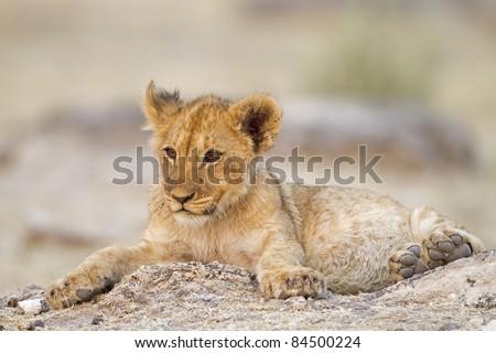 Lion cub lying alone between rocks; Etosha; Panthera leo - stock photo