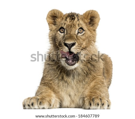 Lion cub lying and looking greedily - stock photo