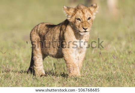 Lion cub, Maasai Mara National Reserve, Kenya, East Africa - stock photo