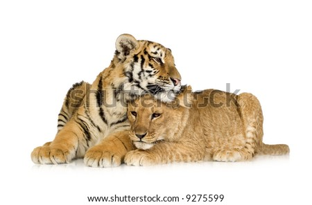Lion Cub (5 months) and tiger cub (5 months) in front of a white background - stock photo