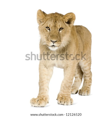 Lion cub (8 months) in front of a white background