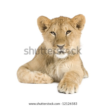 Lion cub (8 months) in front of a white background - stock photo