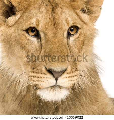 Lion Cub (9 months) in front of a white background