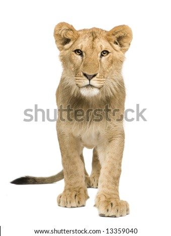 Lion Cub (9 months) in front of a white background - stock photo