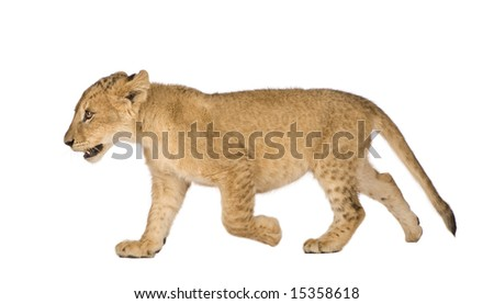 Lion Cub (4 months) in front of a white background - stock photo