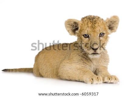 Lion Cub (3 months) in front of a white background. - stock photo