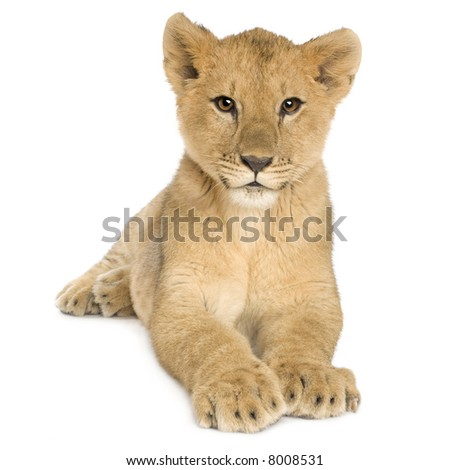 Lion Cub (5 months) in front of a white background - stock photo