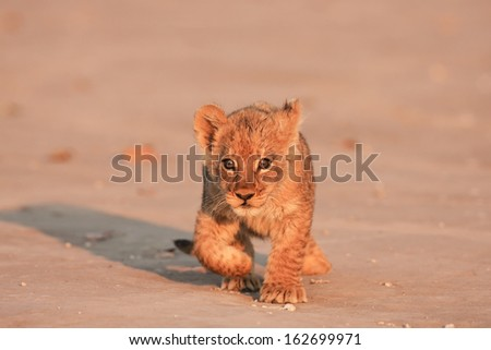 lion cub moving  - stock photo