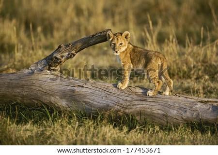 Lion cub on log, Panthera leo, Masai Mara, Kenya - stock photo