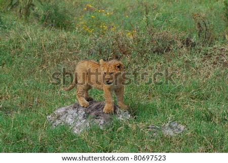 Lion Cub on Rock - stock photo