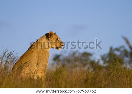 Lion cub overlooking grassland - stock photo