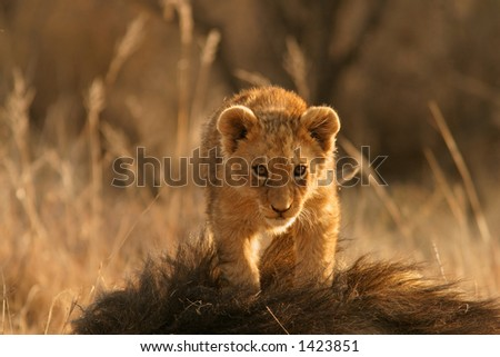 Lion cub (Panthera leo) standing on the head of his father, South Africa - stock photo
