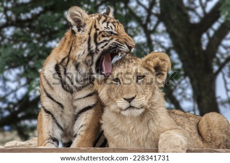 Lion Cub (Panthera leo) & Tiger Cub (Panthera tigris) playing at a Big Cat Sanctuary in South Africa - stock photo