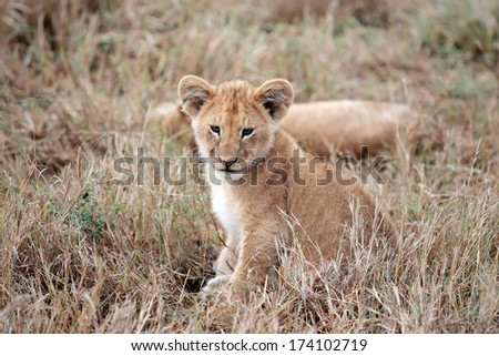 Lion cub playing in the Masai Mara reserve in Kenya Africa - stock photo
