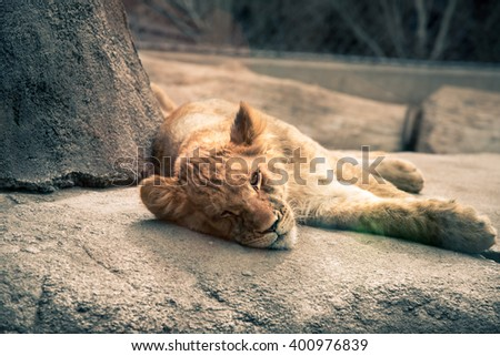 Lion cub portrait_laying on rocks in resting time in Denver Zoo  - stock photo